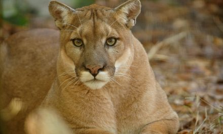 Survey says yes to mountain lions
