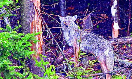 DEC issues guidance to avoid conflicts with coyotes