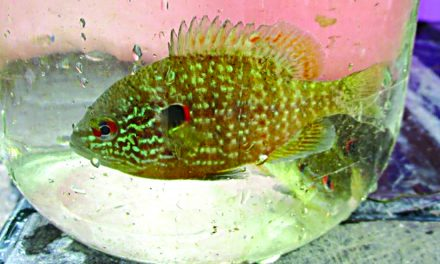 Threatened northern sunfish discovered