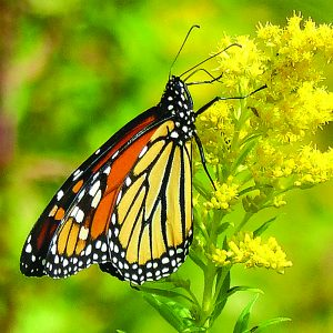 Photo by Joan Hermann A monarch butterfly rests on goldenrod.