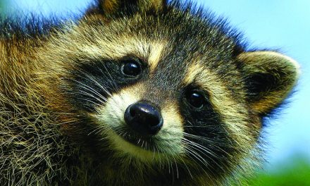 All about raccoons