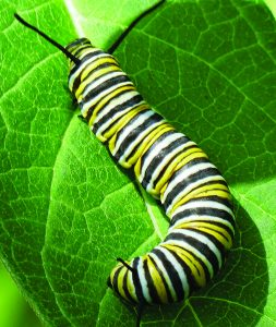 Photo by Joan Herrmann This caterpillar will turn into a beautiful monarch butterfly.