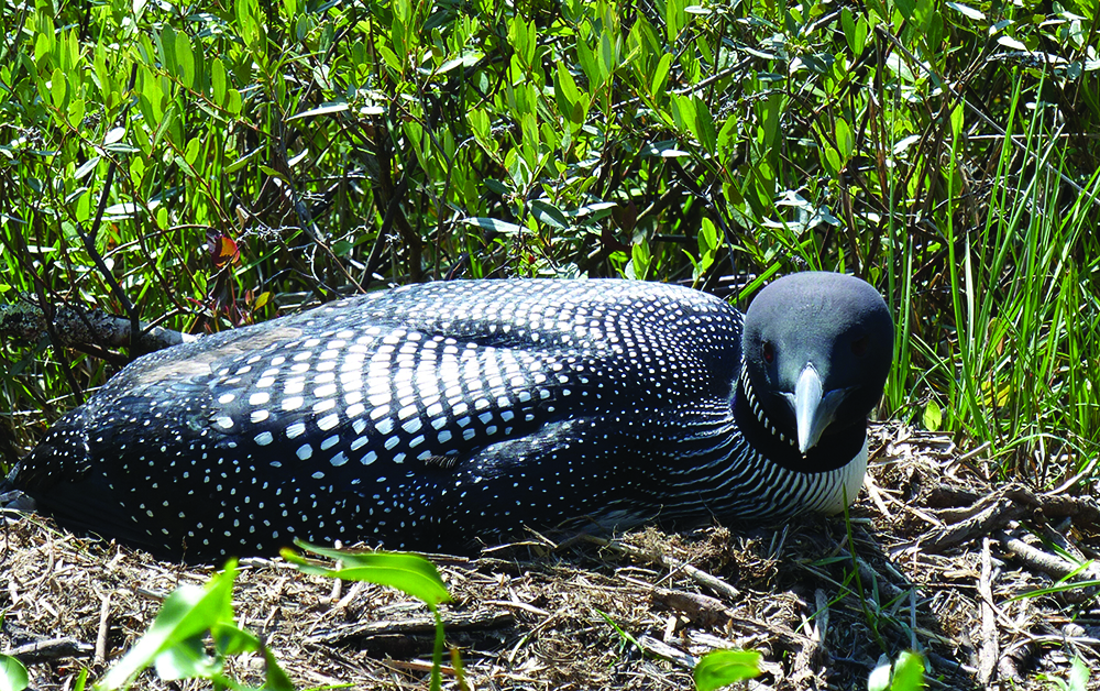 Living with loons in the Adirondacks